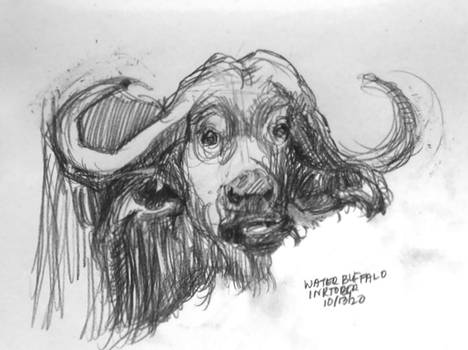 Water Buffalo Inktober 13