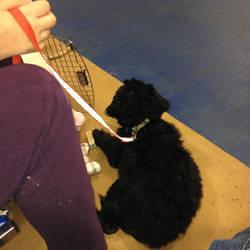 Bear resting after a Puppy Kindergarten Game