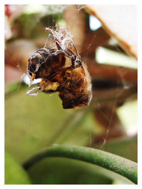 Dead bee by novac