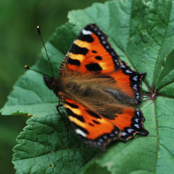 Mallow and Aglais Urticae #3