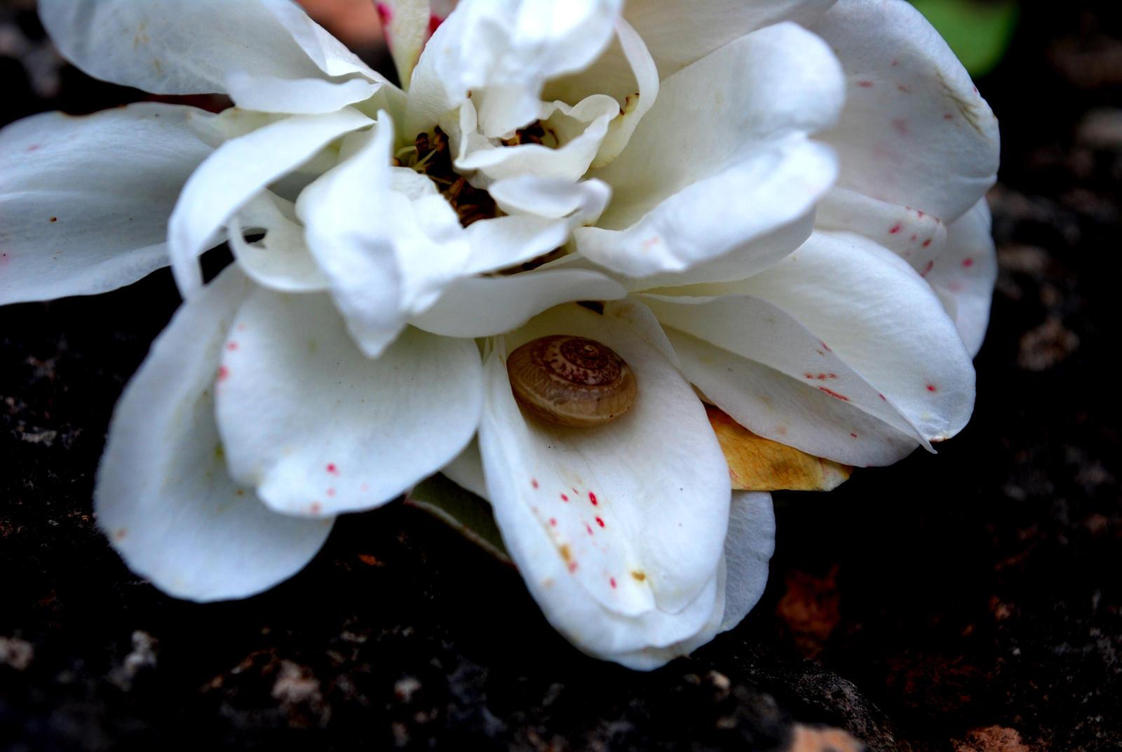 White Ripe Blossomed Rose Edited