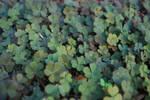Three-leaved Plant