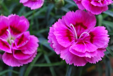Pink Carnation by ValerioChu