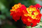 Orange-Reddish Lantana Camara
