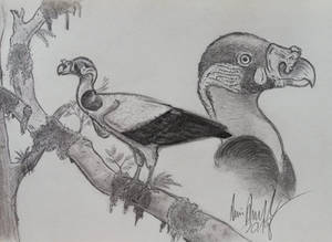 King Vulture: The Most Bizarre New World Vulture