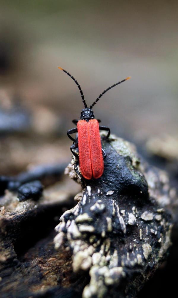 Beetle (Red winged Lycid Beetle) Porrostoma rufipe by N3F4RI0US