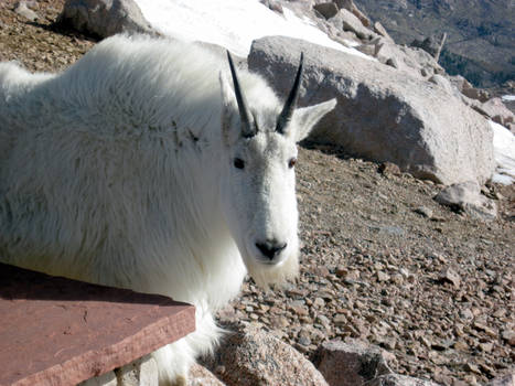 Mountain goat on Mt. evans