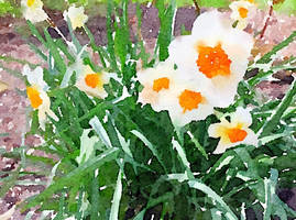 Watercolor White Daffodils by asommersby