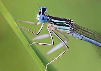 Platycnemis pennipes.