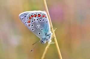 Polyommatus icarus.. by efeline