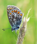 Polyommatus icarus by efeline