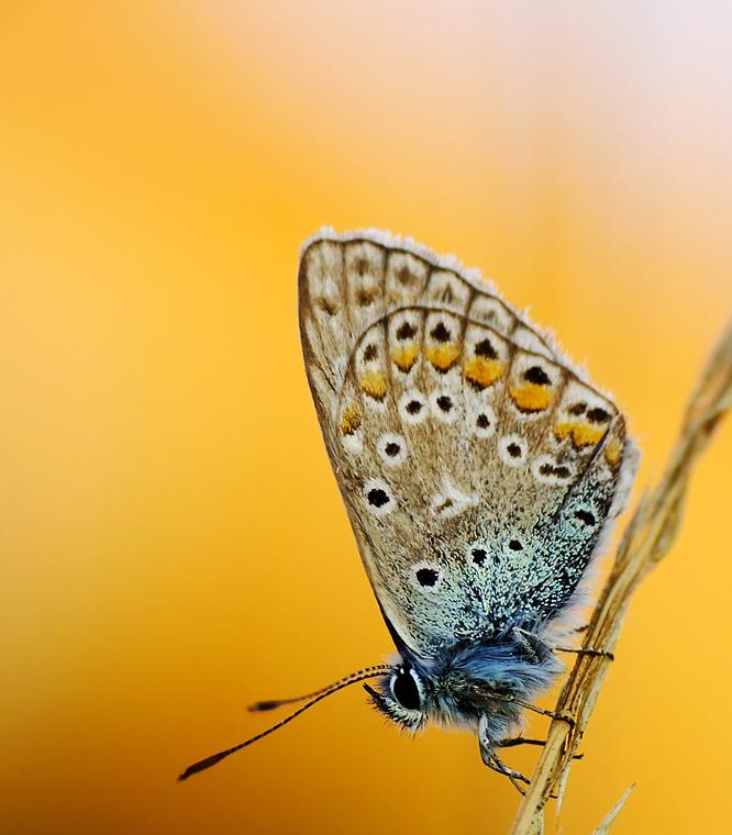 .:Modraszek ikar:. by efeline