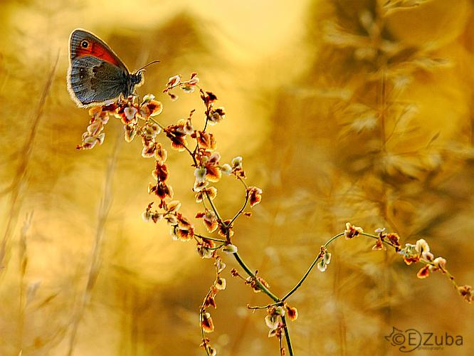 .:Coenonympha pamphilus:. by efeline