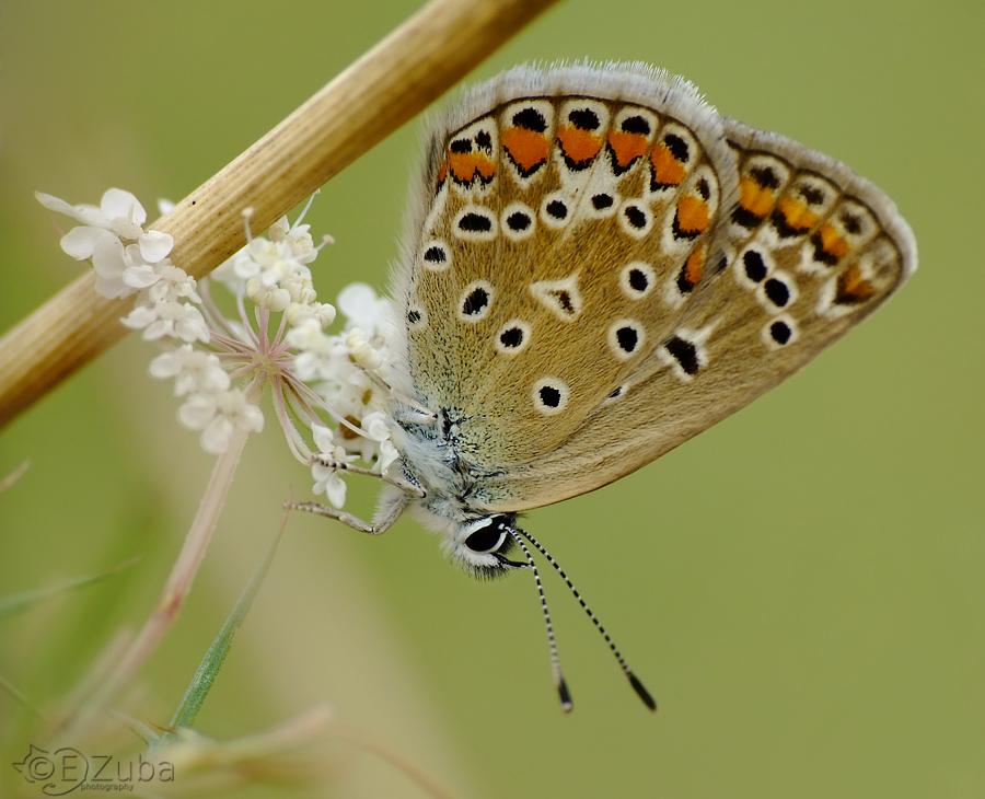 .Polyommatus. by efeline