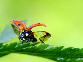 .:Coccinella septempunctata:.