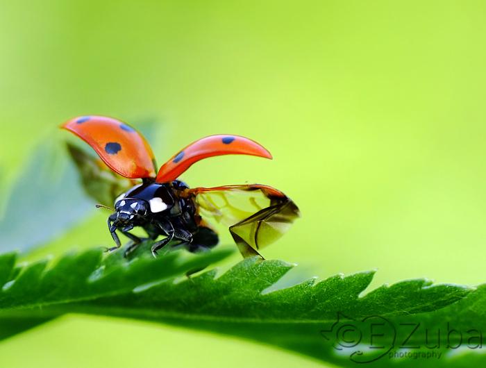 .:Coccinella septempunctata:. by efeline
