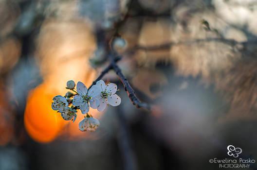 Mirabelle plum - flowers