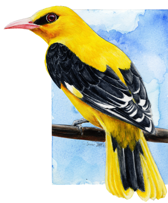 Golden Oriole by Solinni