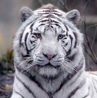 White Tiger by Kiya-Hathor