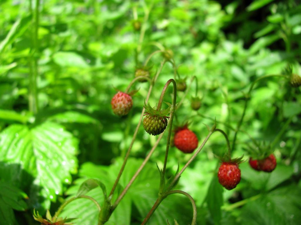 Strawberry season by BellissLife