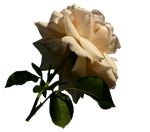 Rose PNG by dreamlikestock