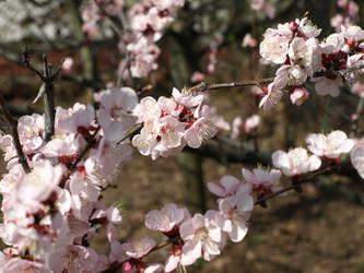 pink blossom 2 by dreamlikestock