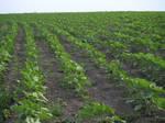 crops field 2