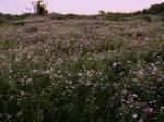 Flower field by dreamlikestock