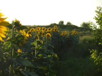 sunflowers by dreamlikestock