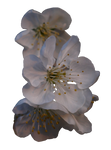 Cherry tree bloom PNG by dreamlikestock