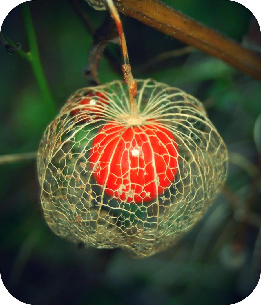 L 39 amour en cage by wandererinwonderland on deviantart - Fruit amour en cage ...