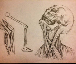 Bone and muscle structure sketches