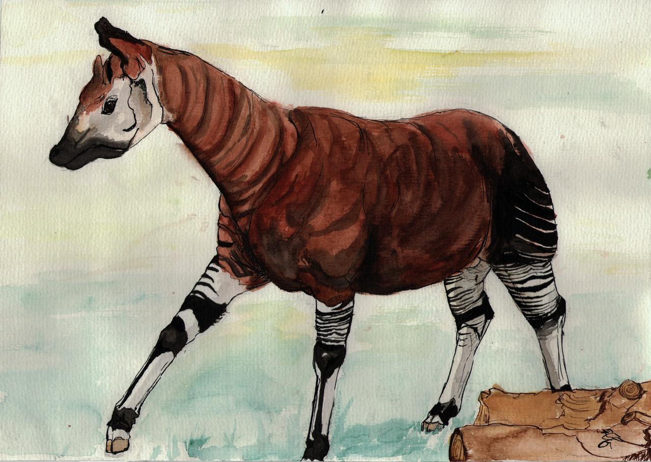 an analysis of the similarities between okapis and giraffes