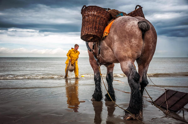Fishing in shrimps on by horse to Oostduinkerke by Tetelle-passion