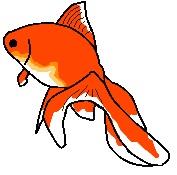 Charlie the Fan tail gold fish by JinKitsuka