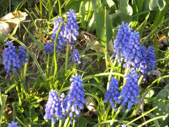 Grape hyacinths by natoon