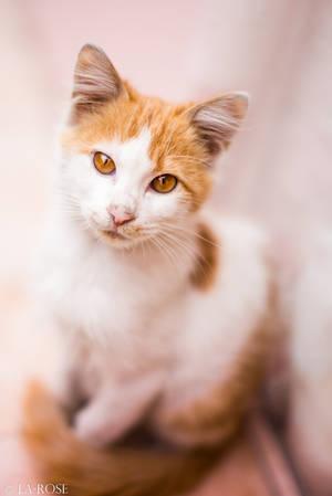 Kitten by La-Rose