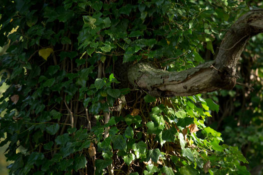 Ivy-Tree