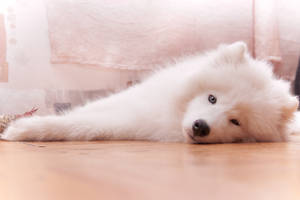 Samoyed by relaxing-lynx