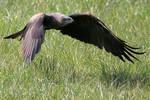 Black Kite Hunting