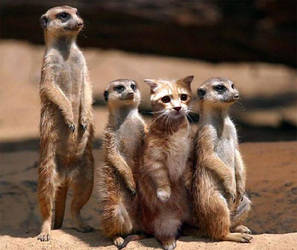 Kitten lost among Meerkats