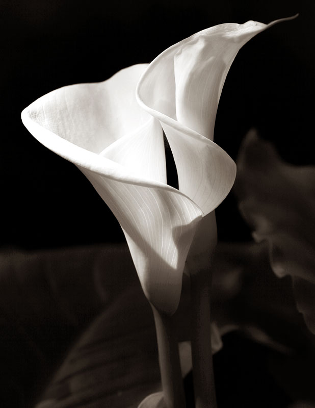 Calla lilly by cenevols