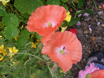 Wild orange poppies by angelshavehalos