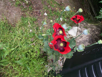 Red poppies in the rockery by angelshavehalos
