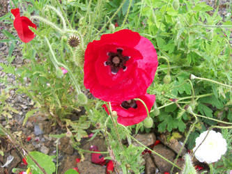 Red poppies in garden by angelshavehalos