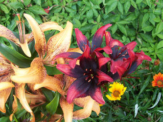 Red and orange lillies by angelshavehalos