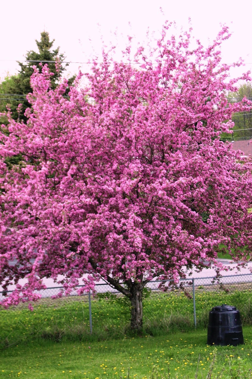 Crabapple tree in full bloom by shadyman on deviantart for Crabapple tree