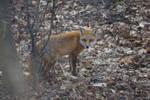 Fox looking for crabapples