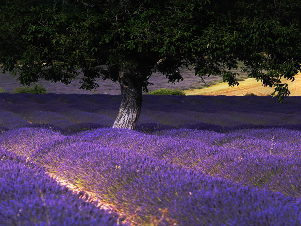 Tree and Lavender field by Temorhan