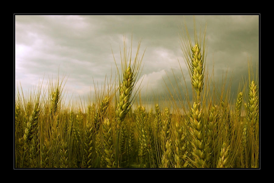 Golden Summer by Hartmut-Lerch